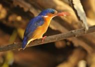 Malachite Kingfisher & fish