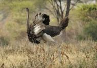 Ostrich – male