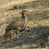 Red-necked Spurfowl & chick