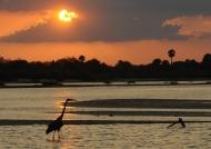 Goliath Heron at sunset