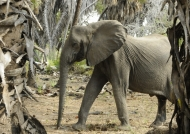 Looks like in musth period