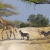 Zebras following the giraffe