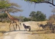 Zebras following the giraffe
