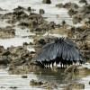 Black Egret fishing