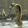 Tanzania – Nile Crocodile fight