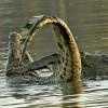 Nile Crocodile fight