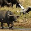 Buffalo and Crowned Crane