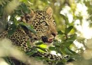 Leopard cub – 2-3 months
