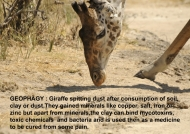 Giraffe – what is Geophagy ?