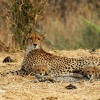 Cheetah love story with cubs