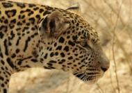Leopard – male