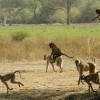 «flying» Yellow Baboons