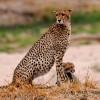 Cheetah watching around