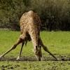 Masai Giraffe drinking