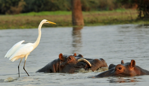 Great  Egret with Hippos