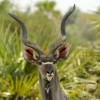 Greater Kudu – male
