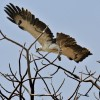 Martial Eagle – juvenile