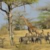 Masai giraffe & Zebras
