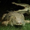 Nile Crocodile fight