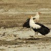 Palm-nut Vultures – couple
