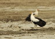 Palm-nut Vultures – couple