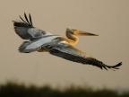 Pelicans & Storks