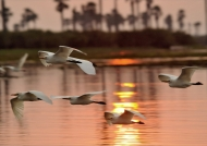 Egrets crossing the sunset