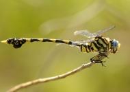 Tigertail near the lake