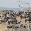 Wildebeests & Zebras