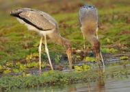 Yellow-billed Storks –  juv.