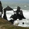 European Herring Gulls