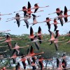 Flock of American Flamingos