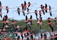 Flock of American Flamingos