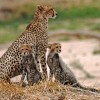 Cheetah with her 2 cubs