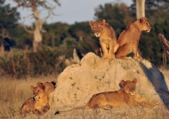 Lions ready for hunting