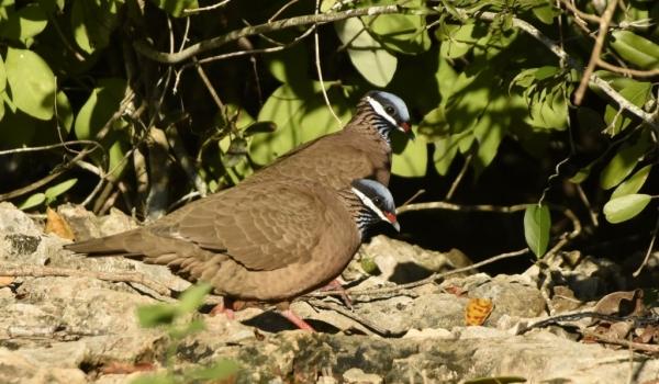 Quail Doves (Endangered)