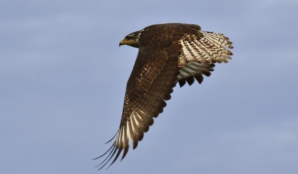 Cuban Black Hawk – juvenile