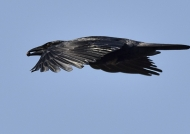 Cuban palm crow-very endang.