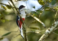 Cuban Trogon (National Bird)