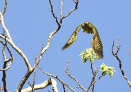 F. Flicker-critically endangered