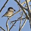 Giant Kingbird (Endangered)