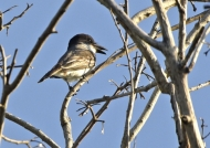 Giant Kingbird (Endangered)