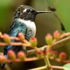 Bee Hummingbird  – male