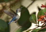 Bee Hummingbird – juv. male