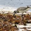 Black-bellied Plover – winter