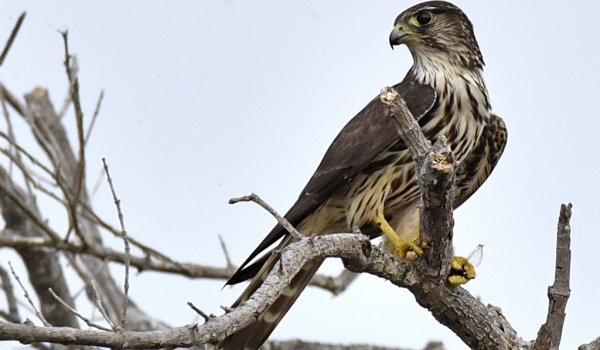 Merlin juv. eating a dragonfly