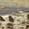 Turnstones & Sanderlings
