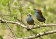 South Africa – Blue Waxbills – courtship