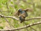Blue Waxbills – mating