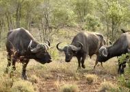 African Buffaloes